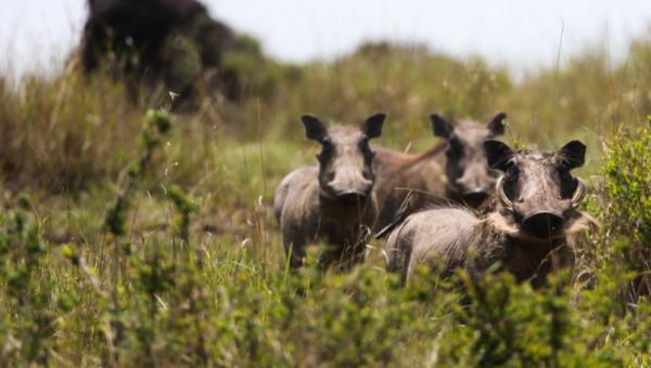 חזירי בר
