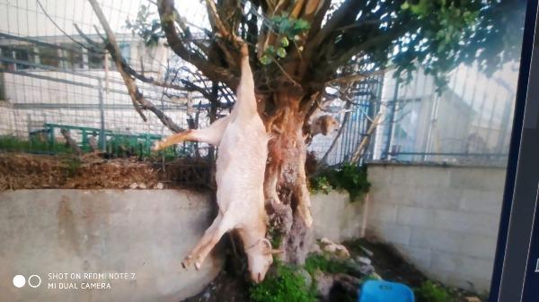 חד גדיא: עז טיפסה על עץ וחולצה