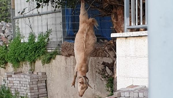 העז הפצועה תלויה על העץ