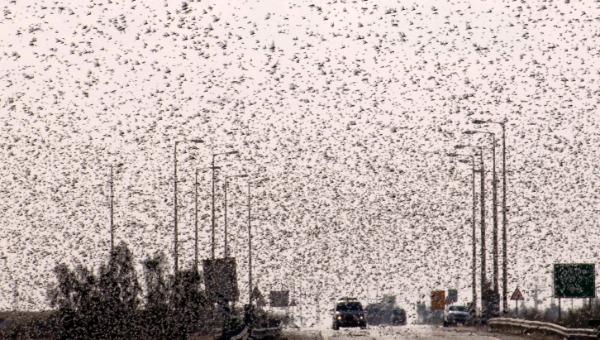 Locusts in Egypt