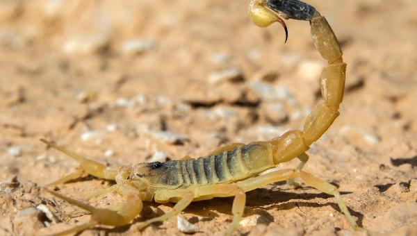 עקצן צהוב, המסוכן בעקרבי ישראל. אולי הוא ייבחר?