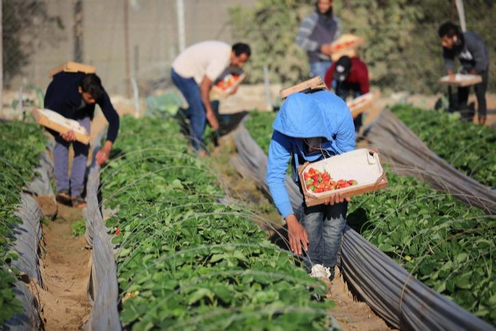 חקלאים קוטפים תותי שדה ברצועת עזה