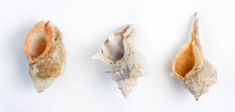 שלושת מיני החלזונות ששימשו להפקת צבע הארגמן בעבר