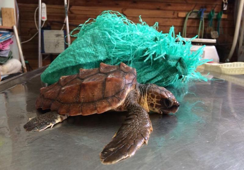 אחד מצבי הים כפי שהגיע למרכז להצלת צבי ים